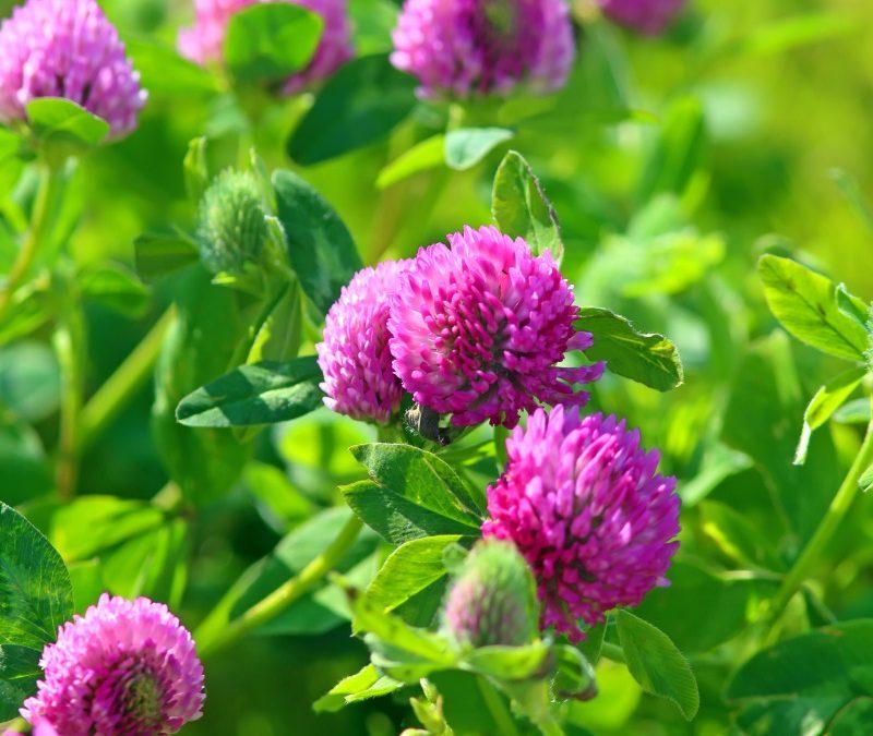 Cahier de 5 plantes alliées de la ménopause