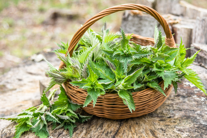 Plantes réactives au toucher : la sensitive et l'ortie